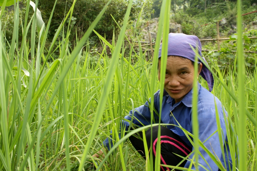 Image of woman glancing at me at she works in the rice field in Mai Chau Vietnam.