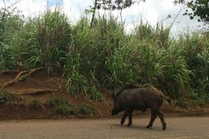 Image of wild boar crossing the road near Wailua Falls in Kauai.