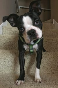 Image of This Big Wild World's boston terrier puppy named Hank.