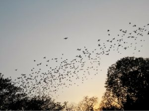 Image of birds flying in the sky at sunset over New Delhi India.
