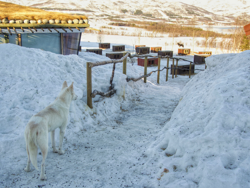 Greeted by a dog on arrival at Tromso Villmarkssenter for dog sledding.