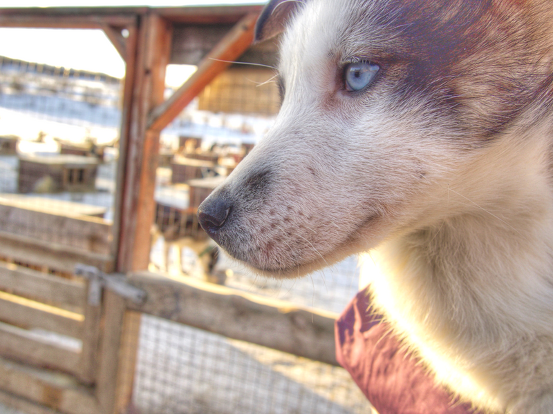 Play with the beautiful husky puppies in the puppy yard at Tromso Villmarkssenter when dog sledding in Tromso.