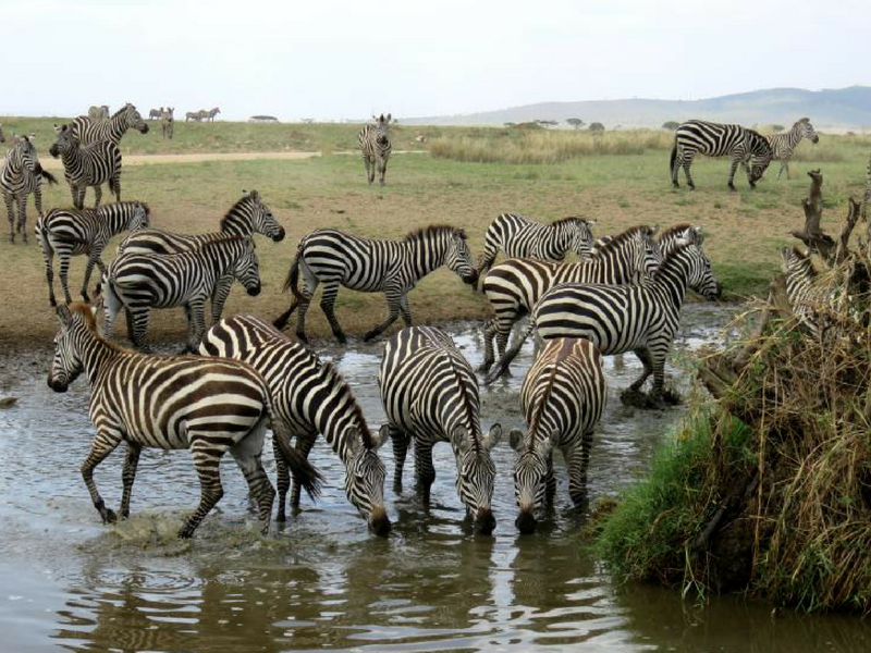 Life of Doing saw zebras while on safari in Tanzania.