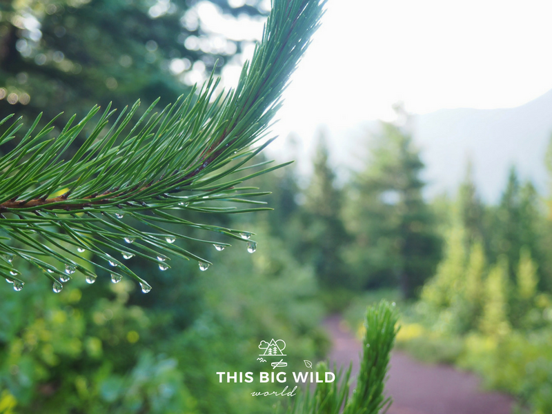 Morning dew hangs on the pine needles along the Iceberg Lake Trail in Glacier National Park.