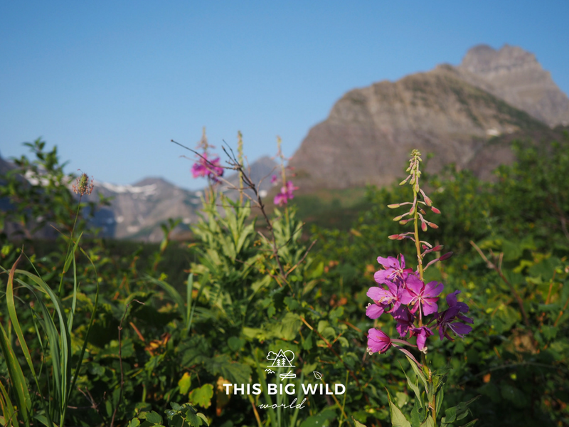 Catch the wildflowers in bloom along the trails in Glacier National Park.