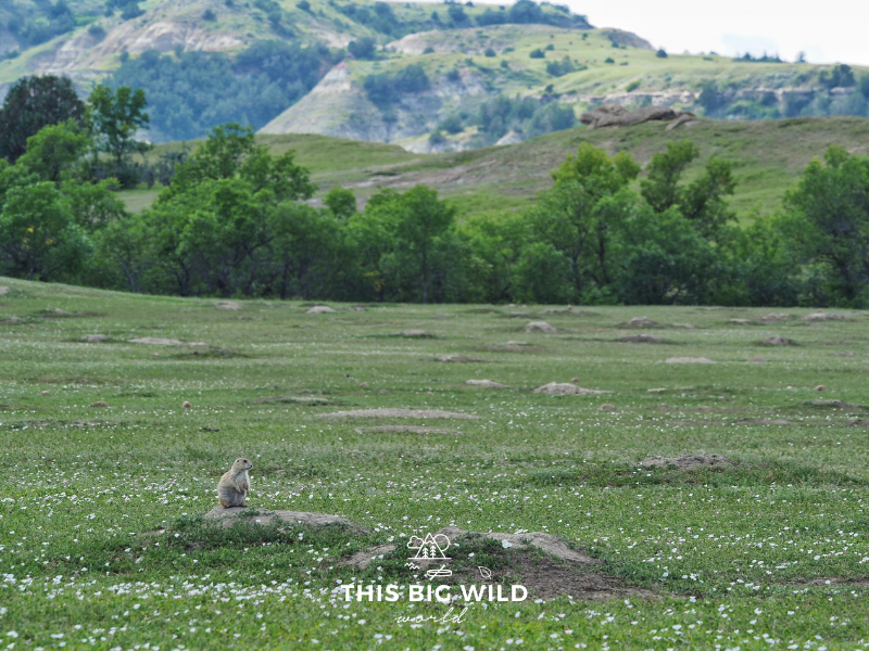 Prairie dog towns line the scenic drive in the South Unit of Theodore Roosevelt National Park.