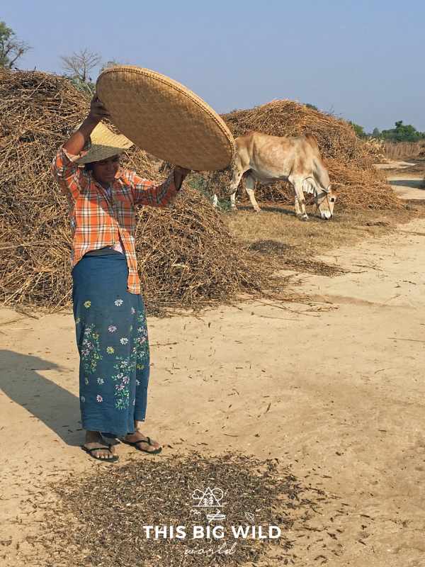 Image of woman sorting beans or grain in the afternoon sun in Bagan Myanmar.