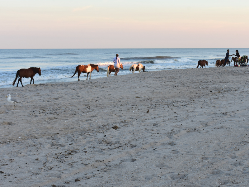 Wild horses wander the beach at Assateague State Park in Maryland. Photo by Meredith from Chasing Abandon.