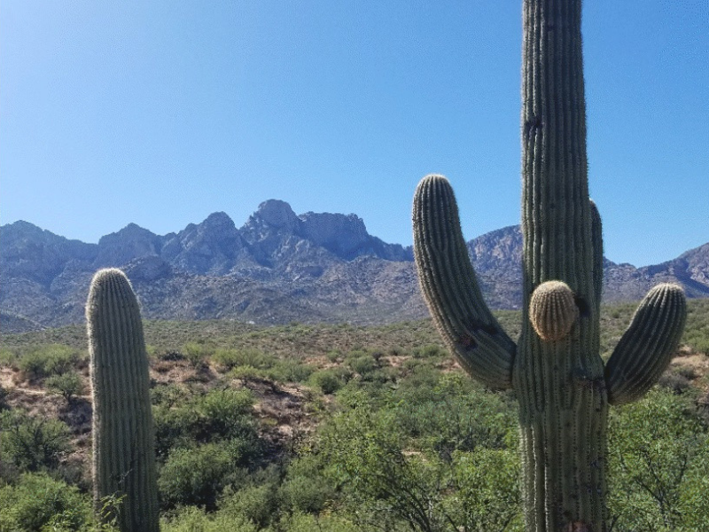 Saguaro cacti against a backdrop of mountains in Catalina State Park in Arizona. Photo by Cassie from White Sands and Cool Breezes.
