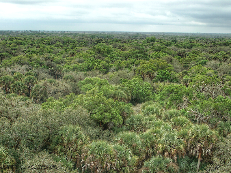 From the Canopy Walk at Myakka State Park in Florida, you see the pine and palm trees for miles! Photo by Michelle from Simplify Live Love.
