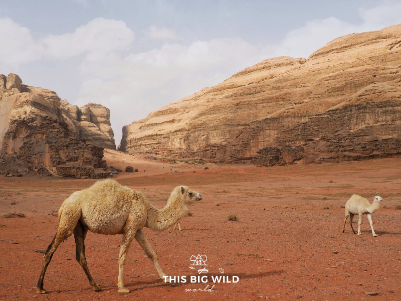 Wild camels wander through Wadi Rum. Some of them will approach your Jeep curious to check you out like these two!