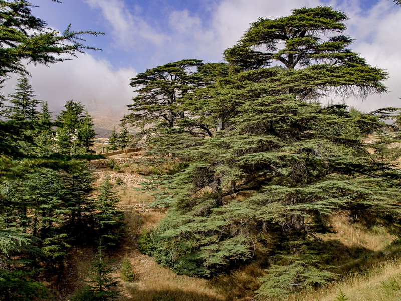The Forest of the Cedars of God is home to the remaining ancient Lebanese Cedar trees, some more than 3000 years old!