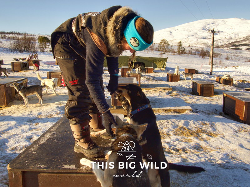 One of the dog sledding trainers plays with her dogs in the dog yard at Tromso Villmarkssenter.