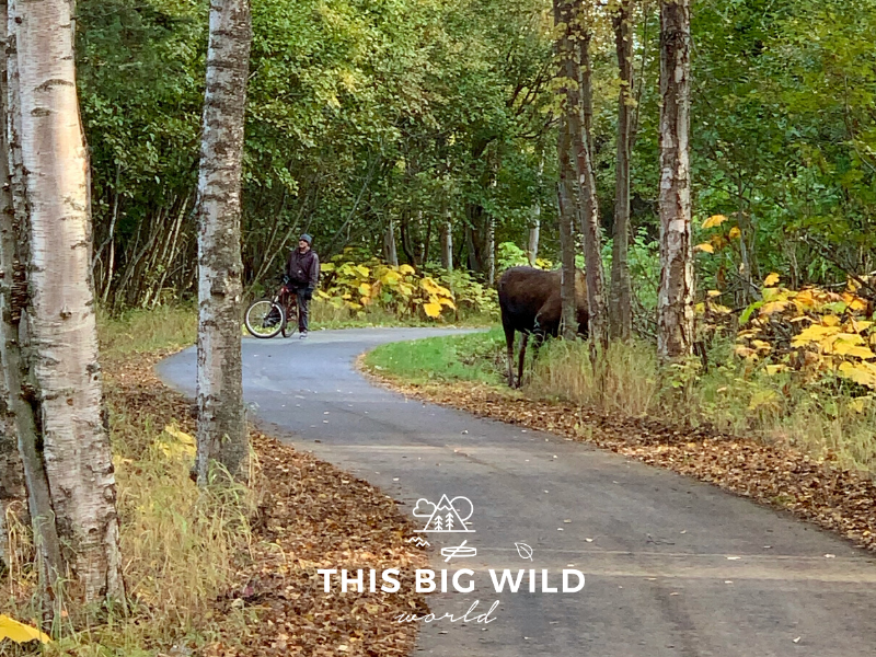 A moose grazes among the trees along the edge of the Tony Knowles Coastal Trail bike path in Anchorage, blocking a biker from passing.