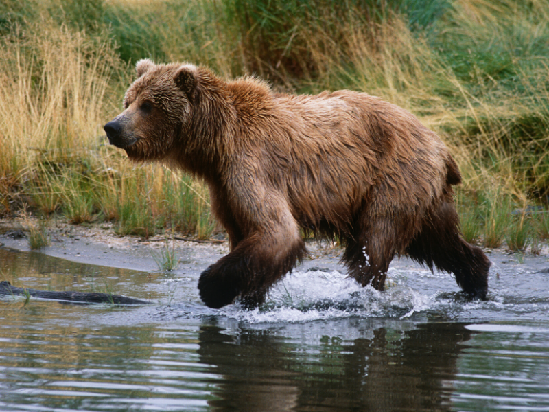 Bears can run incredibly fast across really any terrain. Do not try and outrun a bear!
