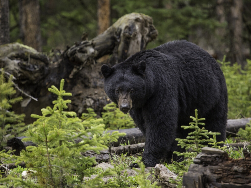Black bears can range in color from black to brown to even blonde. They prefer to roam in forests with access to nuts and berries.