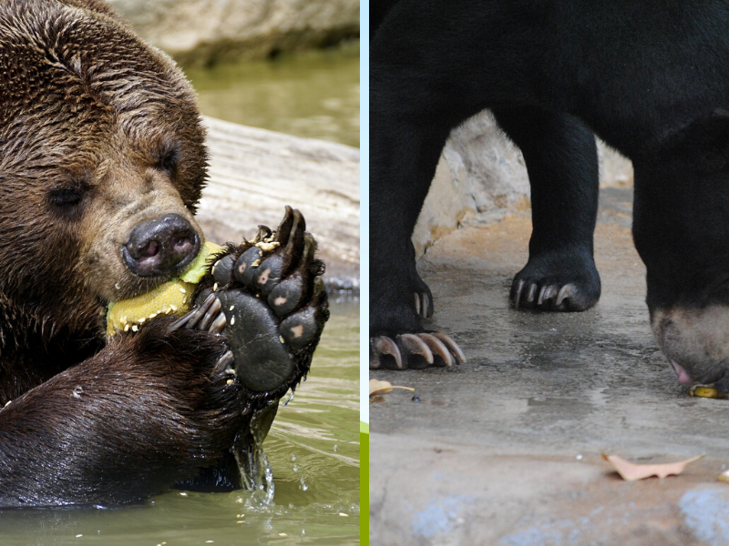 One way to tell brown and black bears apart is by their claws or tracks. Brown bears have long claws while black bears have much shorter and rounded claws.