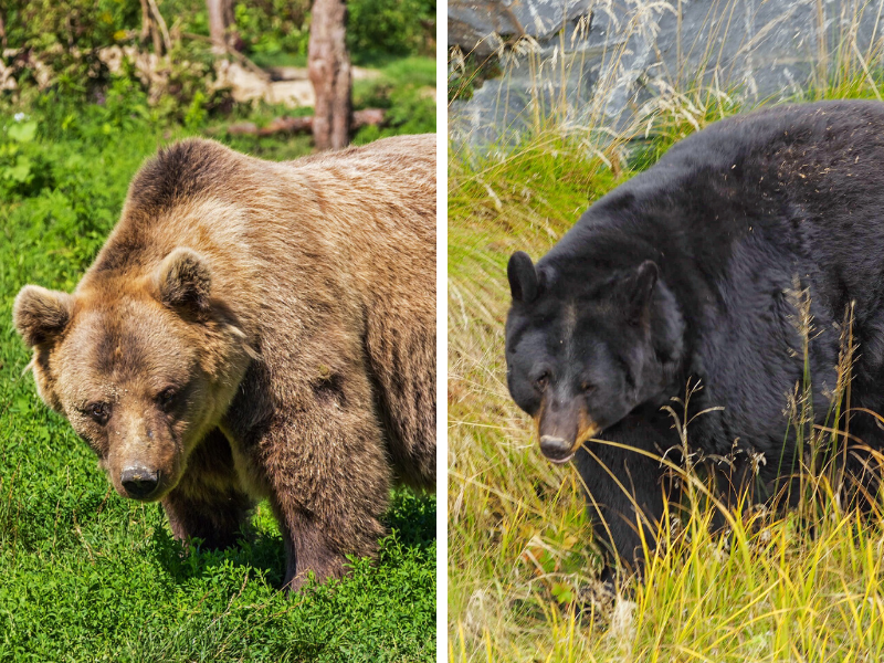 On the left is a grizzly bear with a prominent shoulder hump. On the right is a black bear with no shoulder hump. This is one easy way to identify the difference between the two types of bears.