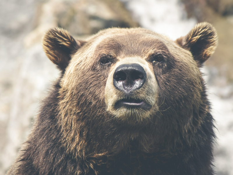 An up close view of a grizzly bears face.