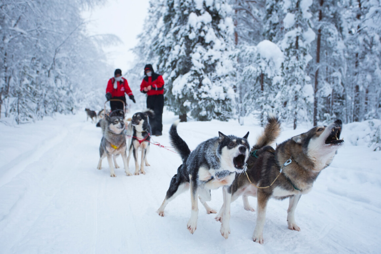 Huskies barking while on a break during a husky sled through the arctic forest near Rovaniemi Finland. Photo credit: Robert Tjalondo on Unsplash