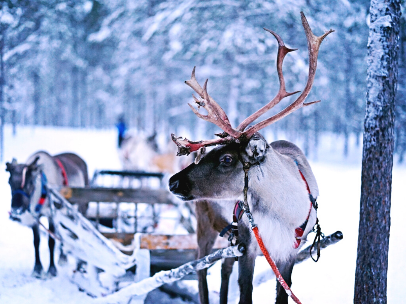 Reindeer pulling a sleigh through the forest in the arctic. Photo credit: Norman Tsui on Unsplash