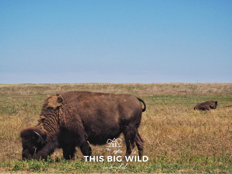 In the left foreground is a large bison eating grass. In the background, a second bison is on the right hand side of the frame standing in taller dry grass. The grass extends to the horizon where it meets with a clear blue sky.