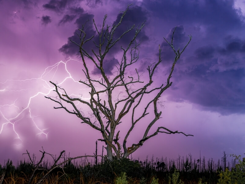 A silhouette of a dead tree rising above the tree tops of a forest with bright purple and blue sky with lightning flashing through it.