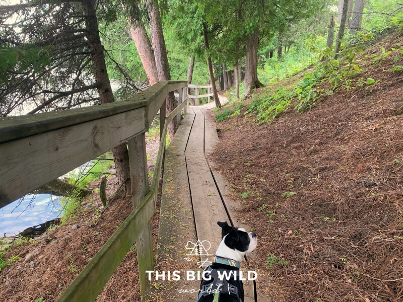 A small black and white dog walks along a narrow wooden boardwalk that follows the shoreline at Scenic State Park. The boardwalk is lined with green pine trees.