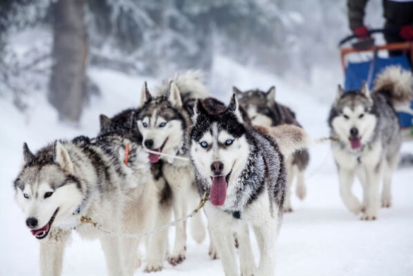Best Places to Go Dog Sledding in the World