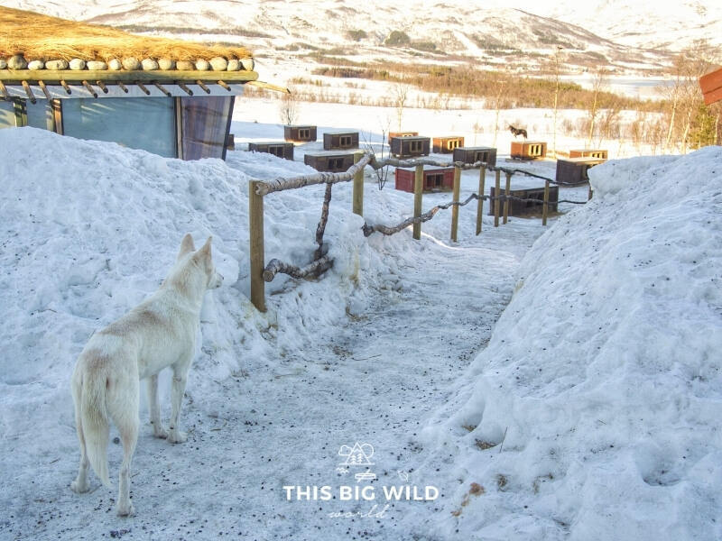 A white dog stands on a walking path at Tromso Villmarkssenter looking off into the distance at an empty dog yard located in a valley between the mountains.