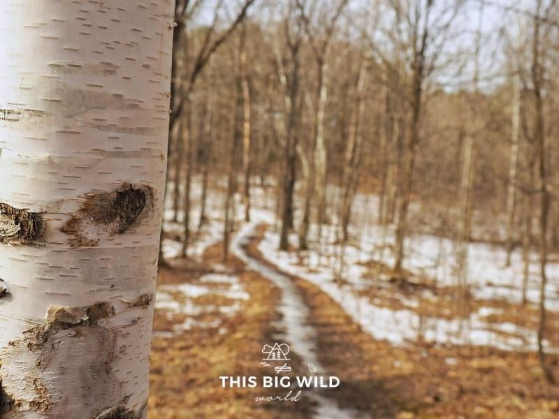 On the left a close up of a birch tree is in focus. On the right is a blurred view of a snow covered trail in the forest at Mille Lacs-Kathio State Park in Minnesota.