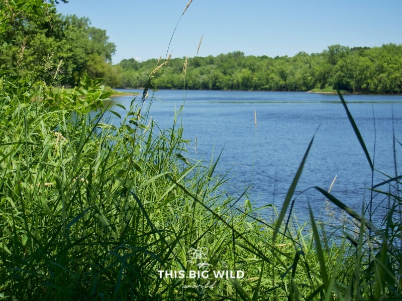 A river is visible through tall grass on a bright sunny day at Wild River State Park in Minnesota.